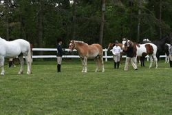 Halter Class, 4th place